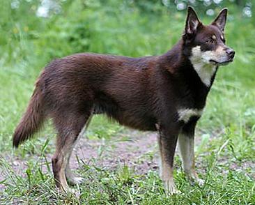 Северные сторожевые и пастушьи собаки